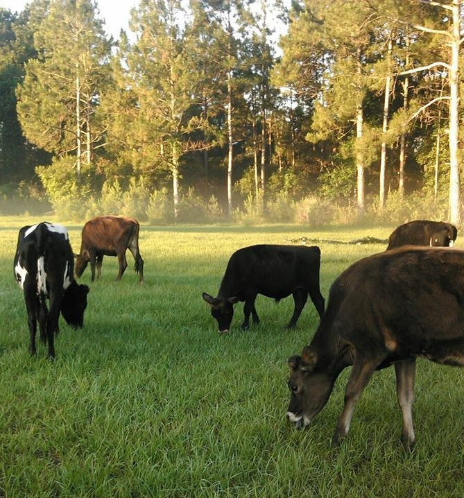 Local RAW MILK  Central Florida  Delivered direct from the
