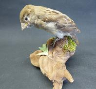 Adrian Johnstone, professional Taxidermist since 1981. Supplier to private collectors, schools, museums, businesses, and the entertainment world. Taxidermy is highly collectible. A taxidermy stuffed adult House Sparrow (235), in excellent condition.