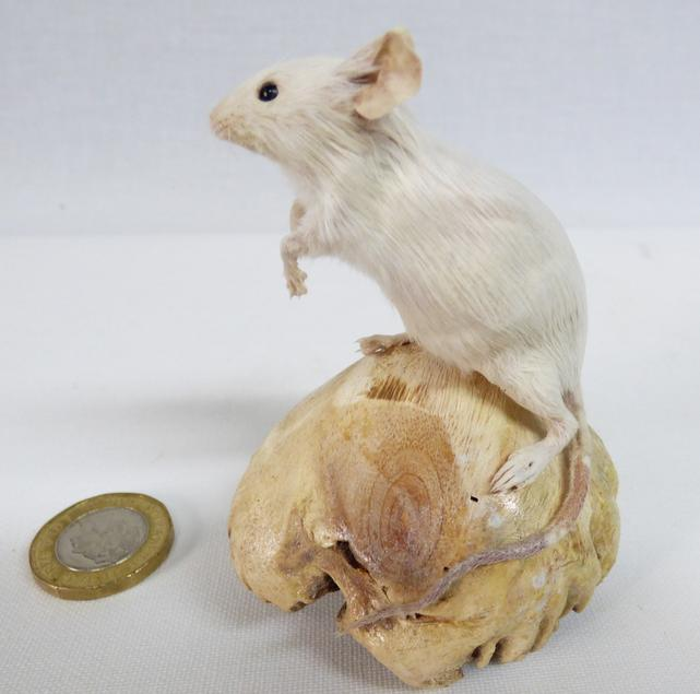 Adrian Johnstone, Professional Taxidermist since 1981. Supplier to private collectors, schools, museums, businesses and the entertainment world. Taxidermy is highly collectable. A taxidermy stuffed White Mouse (83) in excellent condition.