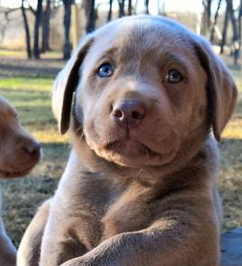 Champagne Lab Puppies
