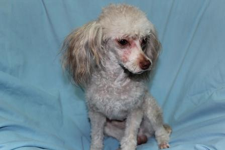 Our expecting poodle parents and poodle adults for sale