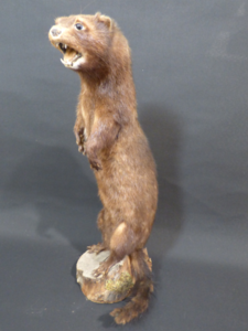 Adrian Johnstone, professional Taxidermist since 1981. Supplier to private collectors, schools, museums, businesses, and the entertainment world. Taxidermy is highly collectible. A taxidermy stuffed antique American Mink (1), in excellent condition.