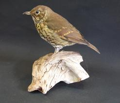 Adrian Johnstone, professional Taxidermist since 1981. Supplier to private collectors, schools, museums, businesses, and the entertainment world. Taxidermy is highly collectible. A taxidermy stuffed Song Thrush (9677) in excellent condition.