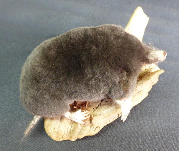 Adrian Johnstone, professional Taxidermist since 1981. Supplier to private collectors, schools, museums, businesses, and the entertainment world. Taxidermy is highly collectable. A taxidermy stuffed Mole (no:120), in excellent condition.