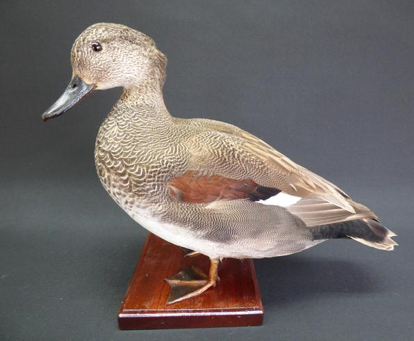 Adrian Johnstone, professional Taxidermist since 1981. Supplier to private collectors, schools, museums, businesses, and the entertainment world. Taxidermy is highly collectable. A taxidermy stuffed Gadwall (9542), in excellent condition.
