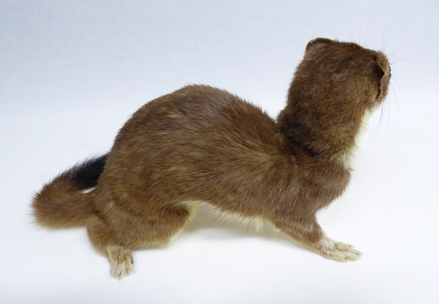 Adrian Johnstone, professional Taxidermist since 1981. Supplier to private collectors, schools, museums, businesses, and the entertainment world. Taxidermy is highly collectable. A taxidermy stuffed Stoat (572) in excellent condition. Mobile: 07745 399515 Email: adrianjohnstone@btinternet.com