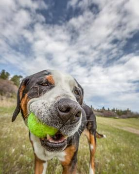Greater Swiss Mountain dog squishes the tennis ball