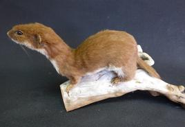 Adrian Johnstone, Professional Taxidermist since 1981. Supplier to private collectors, schools, museums, businesses and the entertainment world. Taxidermy is highly collectible. A taxidermy stuffed Weasel (43), in excellent condition.