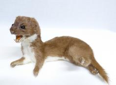 Adrian Johnstone, professional Taxidermist since 1981. Supplier to private collectors, schools, museums, businesses, and the entertainment world. Taxidermy is highly collectable. A taxidermy stuffed Weasel (679) in excellent condition. Mobile: 07745 399515 Email: adrianjohnstone@btinternet.com