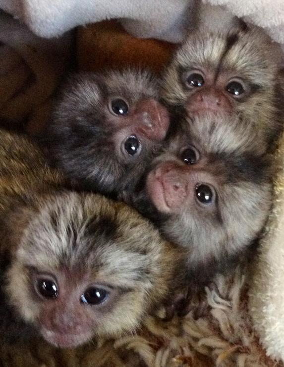 Buy Here Pay Here Tampa >> Baby Marmoset Monkey