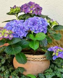 Purple Hydrangea Garden plants-the little flower shop florist garden shop garden centre online