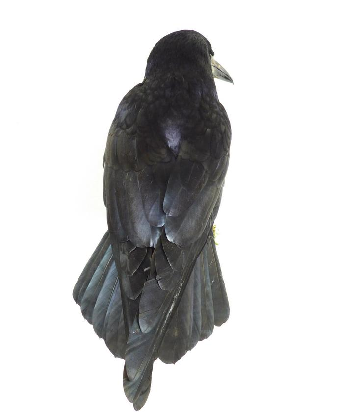 Adrian Johnstone, professional Taxidermist since 1981. Supplier to private collectors, schools, museums, businesses, and the entertainment world. Taxidermy is highly collectable. A taxidermy stuffed adult Rook (9835) in excellent condition. Mobile: 07745 399515 Email: adrianjohnstone@btinternet.com