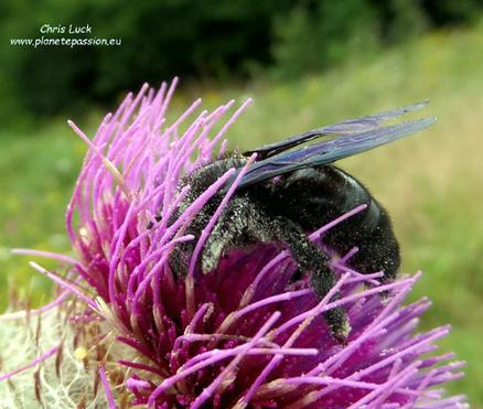 Violet-carpenter-bee-on-thistle-in-France