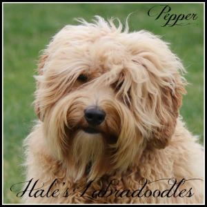 Hale's Australian Labradoodle named Pepper