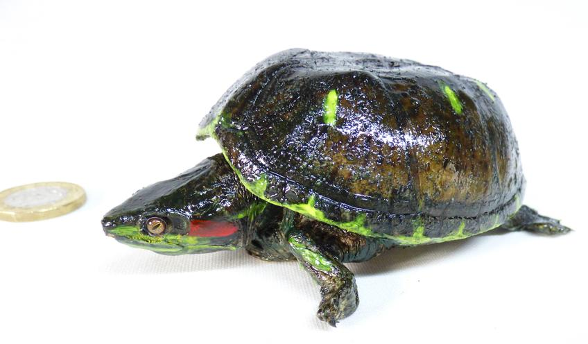 Adrian Johnstone, professional Taxidermist since 1981. Supplier to private collectors, schools, museums, businesses, and the entertainment world. Taxidermy is highly collectable. A taxidermy stuffed Red Eared Terrapin (log no:1), in excellent condition.