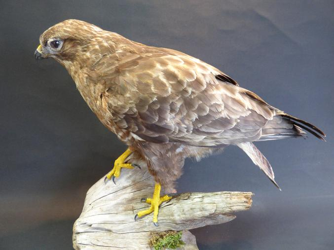 Adrian Johnstone, professional Taxidermist since 1981. Supplier to private collectors, schools, museums, businesses, and the entertainment world. Taxidermy is highly collectable. A taxidermy stuffed Common Buzzard (9434), in excellent condition.