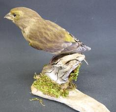 Adrian Johnstone, professional Taxidermist since 1981. Supplier to private collectors, schools, museums, businesses, and the entertainment world. Taxidermy is highly collectible. A taxidermy stuffed adult Greenfinch (9692), in excellent condition.