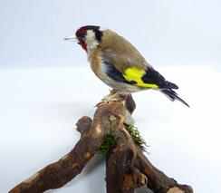Adrian Johnstone, professional Taxidermist since 1981. Supplier to private collectors, schools, museums, businesses, and the entertainment world. Taxidermy is highly collectable. A taxidermy stuffed Goldfinch (9997), in excellent condition. Mobile: 07745 399515 Email: adrianjohnstone@btinternet.com