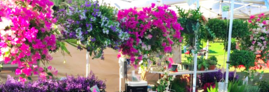 Vibrantly colored bougainvillea and other hanging baskets at a Texas market in the Cameo Farm booth.