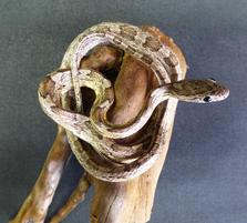 Adrian Johnstone, professional Taxidermist since 1981. Supplier to private collectors, schools, museums, businesses, and the entertainment world. Taxidermy is highly collectable. A taxidermy stuffed Corn Snake (66), in excellent condition.