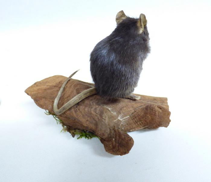 Adrian Johnstone, professional Taxidermist since 1981. Supplier to private collectors, schools, museums, businesses, and the entertainment world. Taxidermy is highly collectable. A taxidermy stuffed Black Mouse (665) in excellent condition. Mobile: 07745 399515 Email: adrianjohnstone@btinternet.com