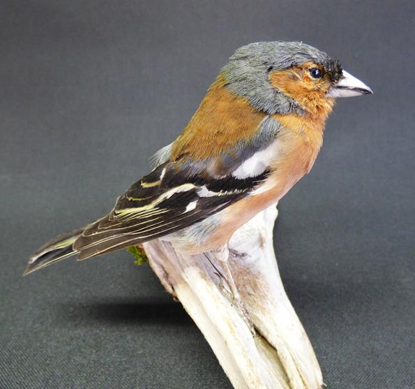 Adrian Johnstone, professional Taxidermist since 1981. Supplier to private collectors, schools, museums, businesses, and the entertainment world. Taxidermy is highly collectable. A taxidermy stuffed adult male Chaffinch (9380), in excellent condition.