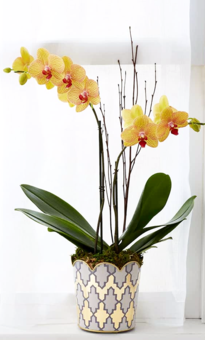 Orchid Online | Phalaenopsis-orchid care-exotic flowers-Indoor Plants | House plants | The Little Flowershop