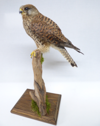 Adrian Johnstone, professional Taxidermist since 1981. Supplier to private collectors, schools, museums, businesses, and the entertainment world. Taxidermy is highly collectable. A taxidermy stuffed Barn Owl (9758), in excellent condition.