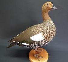 Adrian Johnstone, professional Taxidermist since 1981. Supplier to private collectors, schools, museums, businesses, and the entertainment world. Taxidermy is highly collectable. A taxidermy stuffed Upland Goose (9534), in excellent condition.