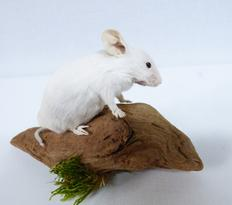 Adrian Johnstone, Professional Taxidermist since 1981. Supplier to private collectors, schools, museums, businesses and the entertainment world. Taxidermy is highly collectible. A taxidermy stuffed White Mouse (13), in excellent condition.