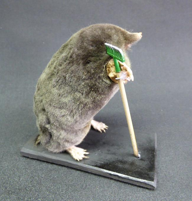 Adrian Johnstone, professional Taxidermist since 1981. Supplier to private collectors, schools, museums, businesses, and the entertainment world. Taxidermy is highly collectable. A taxidermy stuffed Gardening Mole With Rake (54) in excellent condition.