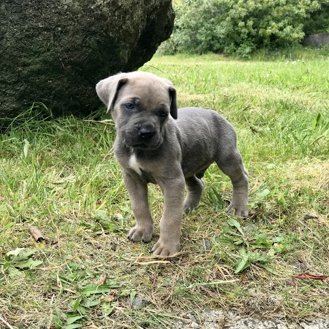 Available Cane Corso Puppies For Sale