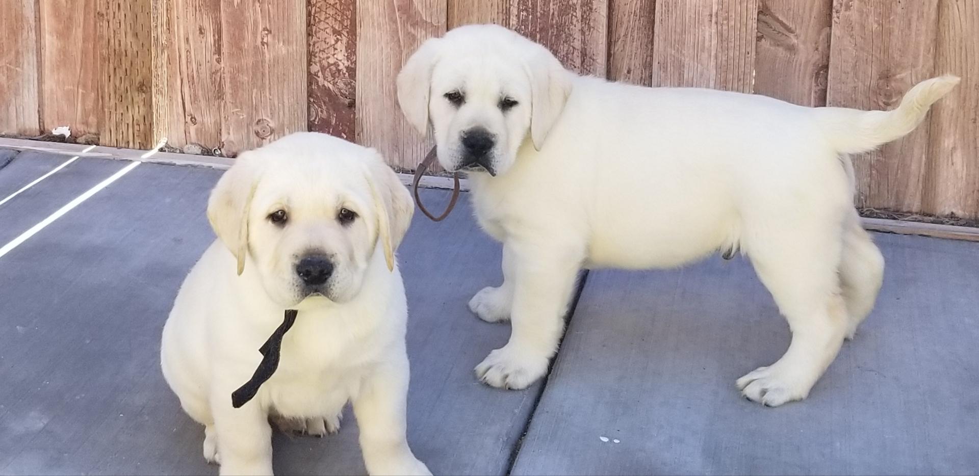 Labrador Puppies - Labs4ever Labradors, yellow labrador puppies