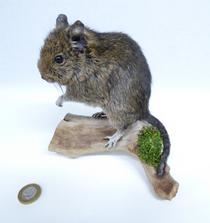 Adrian Johnstone, professional Taxidermist since 1981. Supplier to private collectors, schools, museums, businesses, and the entertainment world. Taxidermy is highly collectable. A taxidermy stuffed Degu (659), in excellent condition. Mobile: 07745 399515 Email: adrianjohnstone@btinternet.com