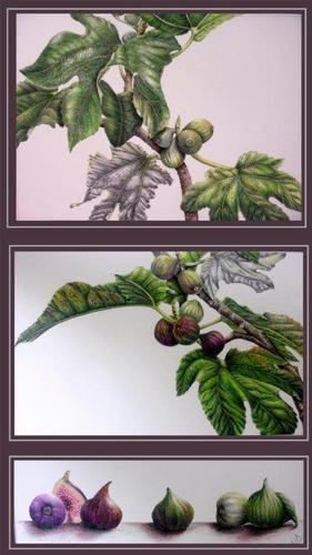 Botanical Art Figs Colour Pencils