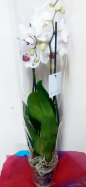 Large White Orchid Online | exotic flowers, Phalaenopsis-orchid care- Indoor Plants | House plants | The Little Flowershop