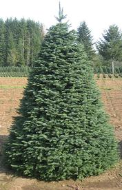 Type Of Christmas Trees.Types Of Trees