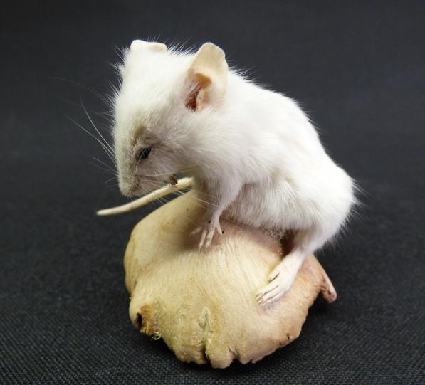 Adrian Johnstone, professional Taxidermist since 1981. Supplier to private collectors, schools, museums, businesses, and the entertainment world. Taxidermy is highly collectable. A taxidermy stuffed White Mouse (1), in excellent condition.