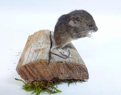 Adrian Johnstone, professional Taxidermist since 1981. Supplier to private collectors, schools, museums, businesses, and the entertainment world. Taxidermy is highly collectable. A taxidermy stuffed Field Mouse (671) in excellent condition. Mobile: 07745 399515 Email: adrianjohnstone@btinternet.com