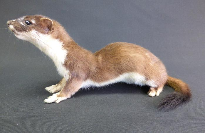 Adrian Johnstone, professional Taxidermist since 1981. Supplier to private collectors, schools, museums, businesses, and the entertainment world. Taxidermy is highly collectable. A taxidermy stuffed adult Stoat (21), in excellent condition.