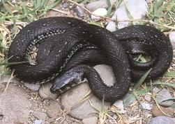 French-snakes-Grass-snake