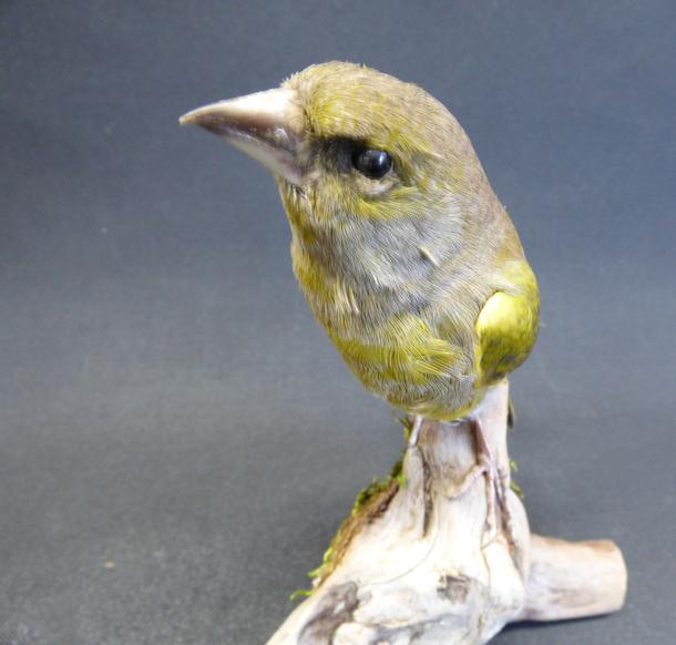 Adrian Johnstone, professional Taxidermist since 1981. Supplier to private collectors, schools, museums, businesses, and the entertainment world. Taxidermy is highly collectable. A taxidermy stuffed male Greenfinch (9690), in excellent condition.