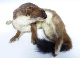 Adrian Johnstone, professional Taxidermist since 1981. Supplier to private collectors, schools, museums, businesses, and the entertainment world. Taxidermy is highly collectable. A taxidermy stuffed Stoat (652) in excellent condition. Mobile: 07745 399515 Email: adrianjohnstone@btinternet.com