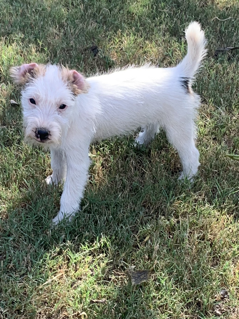 Parson S Jack Russell Terrier Long And Short Leg