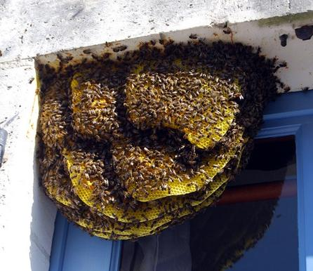 Swarm-of-bees-in-a-French-window