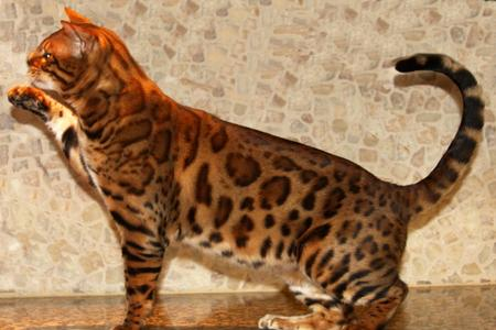 Bengal Kittens and Cats - Bengal Cat Breeder