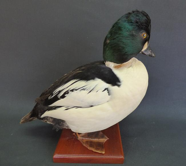 Adrian Johnstone, professional Taxidermist since 1981. Supplier to private collectors, schools, museums, businesses, and the entertainment world. Taxidermy is highly collectable. A taxidermy stuffed adult drake Goldeneye (9474), in excellent condition.