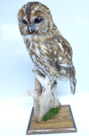 Adrian Johnstone, professional Taxidermist since 1981. Supplier to private collectors, schools, museums, businesses, and the entertainment world. Taxidermy is highly collectable. A taxidermy stuffed Tawny Owl (9866), in excellent condition.