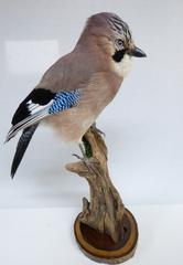 Adrian Johnstone, Professional Taxidermist since 1981. Supplier to private collectors, schools, museums, businesses and the entertainment world. Taxidermy is highly collectible. A taxidermy stuffed Jay (8062), in excellent condition.