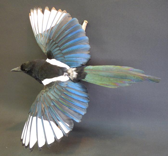 Adrian Johnstone, professional Taxidermist since 1981. Supplier to private collectors, schools, museums, businesses, and the entertainment world. Taxidermy is highly collectable. A taxidermy stuffed Magpie (9219), in excellent condition.